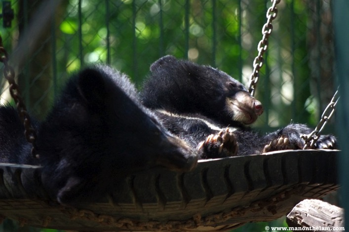 Bears in a tire swing Free the Bears Laos Rescue Centre