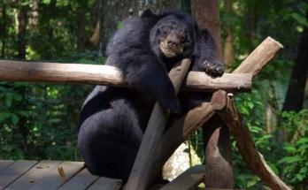 Free The Bears Laos and the Vile Bear Bile Trade