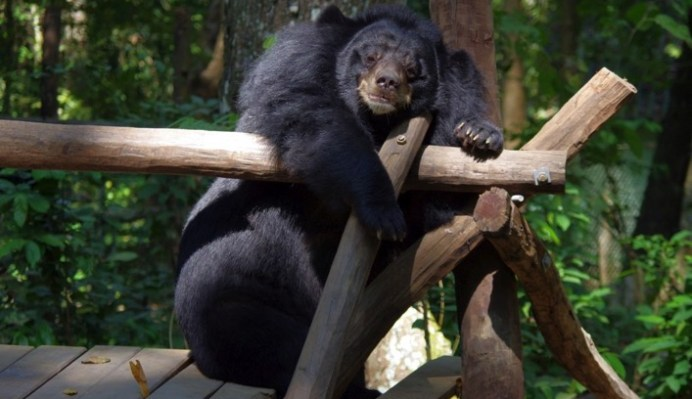 Free The Bears Laos and the Vile Bear Bile Trade