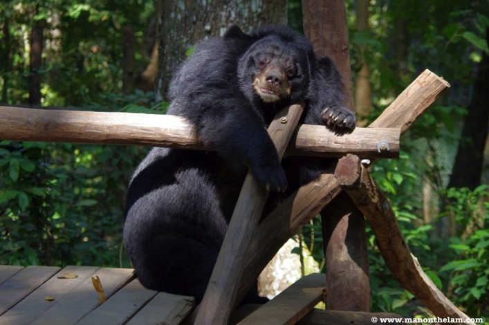 Moon-Bear-taking-a-nap-Free-the-Bears-Laos-Tat Kuang Si Bear Rescue Centre