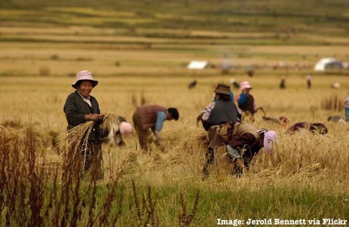 Barley tibet