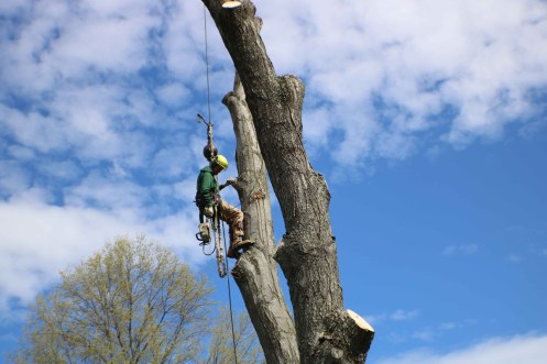 Climbing tree for tree removal