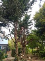 Taking down x6 leylandii tree tillingham marshes 4