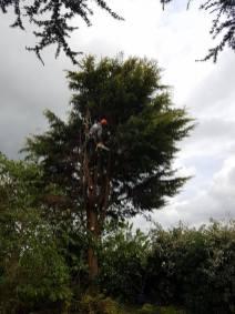 Taking down x6 leylandii tree tillingham marshes 8