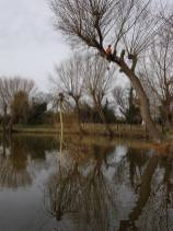 Pollarding a willow over a massive pond 4