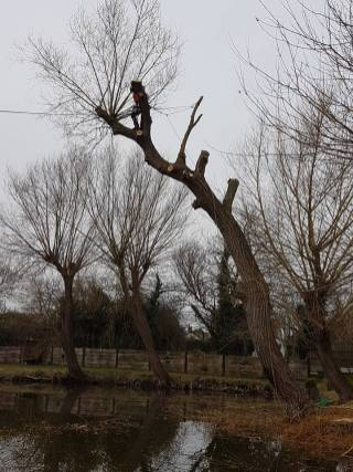 Pollarding a willow over a massive pond 6