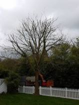 Reducing a ash tree althorne hill (before)6