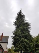 Reducing in height leylandii trees Tillingham1