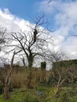 Reducing & thinning a cherry tree Danbury 10