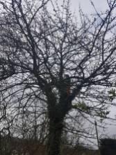 Reducing & thinning a cherry tree Danbury 4