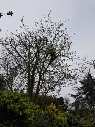 Reducing & thinning a horse chestnut8