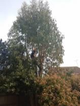 take down eucalyptus5