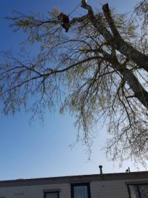 Take down poplar tree Steeple Bay caravan park6