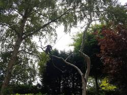 Danbury X 2 take down leylandii trees in the corner 18
