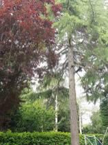 Danbury X 2 take down leylandii trees in the corner 5