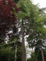 Danbury X 2 take down leylandii trees in the corner 6