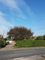 Face and top privet hedge( South Woodham Ferrers Main Road) removal of crab apple 1