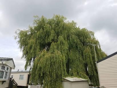 Pollarding x 1 Poplar & one weeping Willow Steeple Bay Caravan Park 10