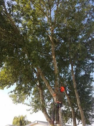 Pollarding x 1 Poplar & one weeping Willow Steeple Bay Caravan Park 2