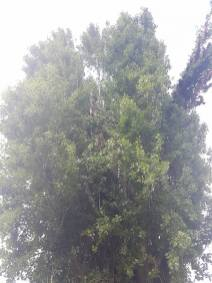 Reducing Poplar Tree 3