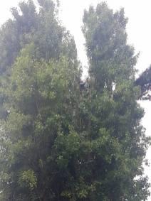 Reducing Poplar Tree 4