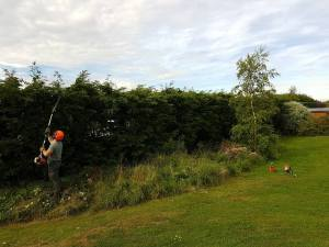 Reducing in height leylandii trees alongside the boundary (St Lawrence) sunny Way 2