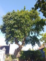 Reducing oak tree Burnham on Crouch with a (tpo) x2 metres reduced 5% thin all correct procedures have been taken - before 1