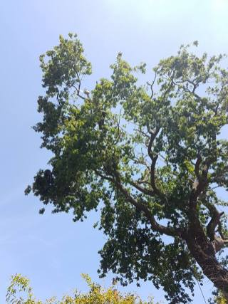Reducing oak tree Burnham on Crouch with a (tpo) x2 metres reduced 5% thin all correct procedures have been taken - before 14