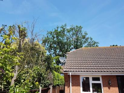 Reducing oak tree Burnham on Crouch with a (tpo) x2 metres reduced 5% thin all correct procedures have been taken - before 15