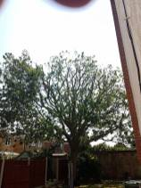 Reducing & thinning oak tree Casey Lane Tillingham with a tpo all correct procedures have been taken 10