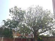 Reducing & thinning oak tree Casey Lane Tillingham with a tpo all correct procedures have been taken 12