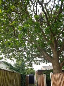 Reducing & thinning oak tree Casey Lane Tillingham with a tpo all correct procedures have been taken 4