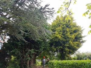 Taking down x6 leylandii tree tillingham marshes 1