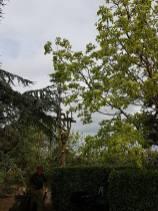 Taking down x6 leylandii tree tillingham marshes 9