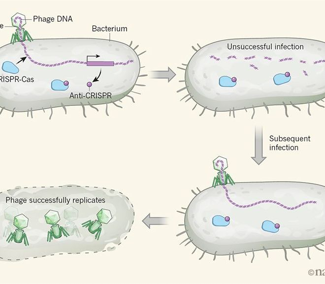 Viruses cooperate to defeat bacteria
