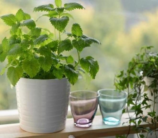 Three easy to grow medicinal plants for your home and garden