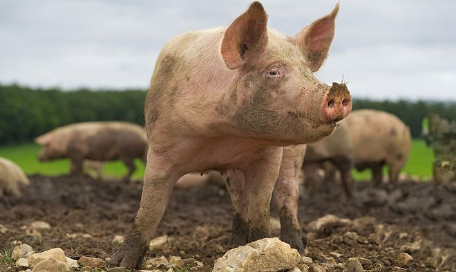 Scientists restore some cellular functions in dead pig brains