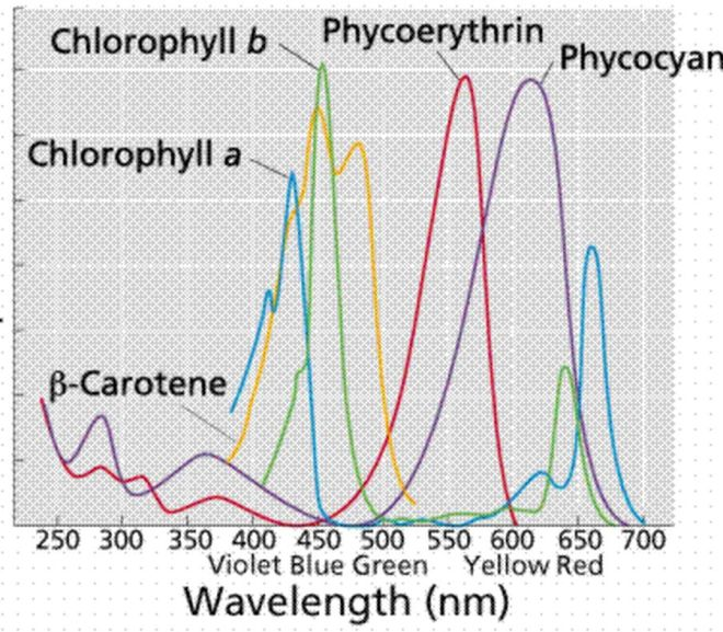 Cannabis: Determination of chlorophyll a, chlorophyll b, and total carotene content in extract (UV)