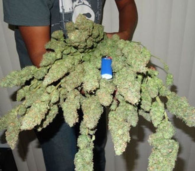 Dry & Cure Cannabis Buds