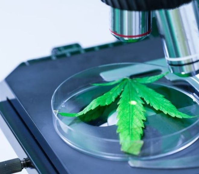 New Cannabis Sample Preparation Solutions: Monitoring the Plant and the Product