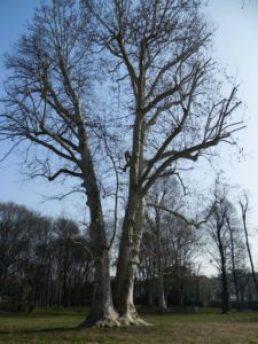 alberi monumetali