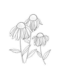 cone-flowers