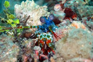 Manta Manta Diving - Bali - Scuba Diving - Peacock Mantis Shrimp
