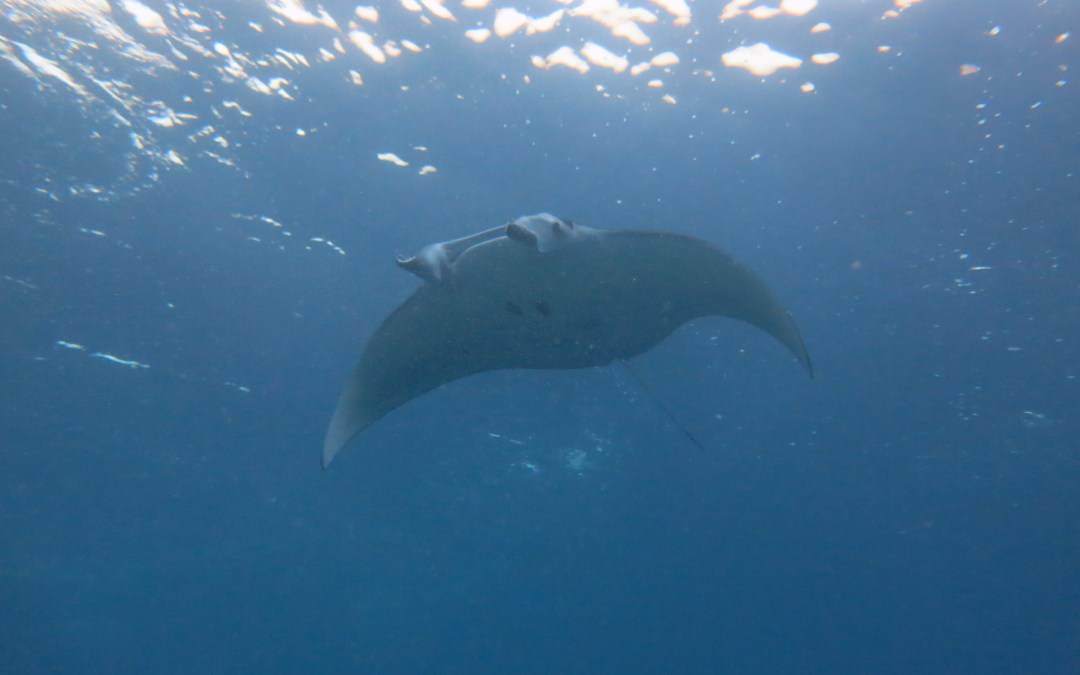 Day 6 : Drift Dive and The Manta's Coming