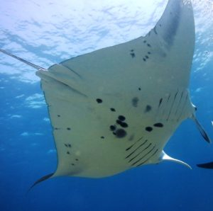 Manta ID photos help us recognize individuals and support conservation approaches.