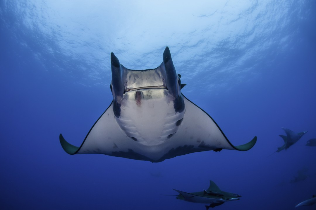 Mobula Rays Threatened with Extinction due to Overfishing