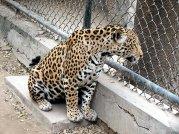 Leopard At National Zoological Park Delhi