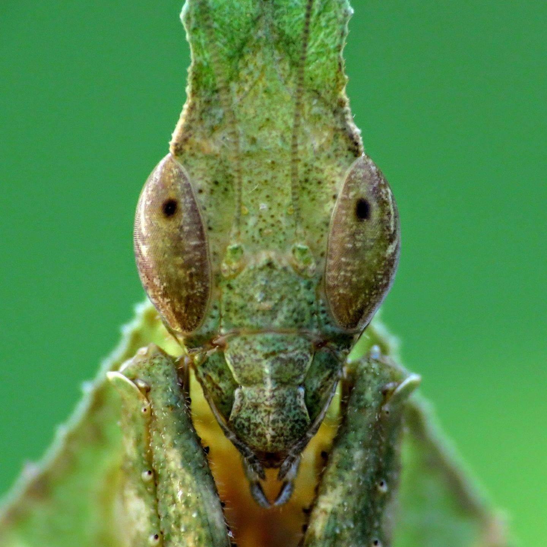 unsexed L2-L3 Ghost Praying Mantis Baby/'s