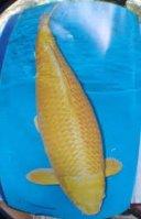 Ogon Koi carp