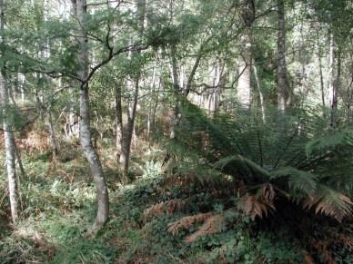 Tas rain forest2